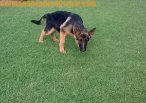 Lear how to potty train a german shepherd puppy the right way