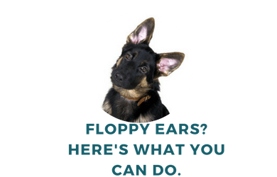 7 Ways to Fix Floppy German Shepherd Puppies Ears