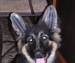 german shepherd puppies ears foam support