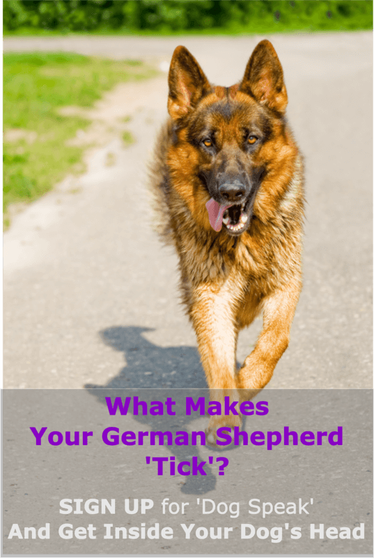 german shepherd with floppy ears 7 ways to fix floppy german shepherd puppies ears 9548