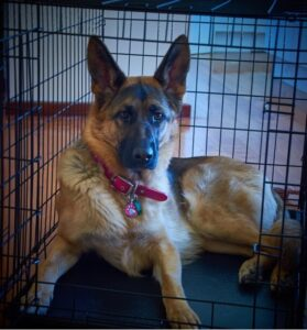 How to Crate Train a German Shepherd Successfully