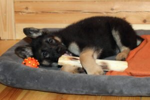 How Do You Crate Train a German Shepherd at Night