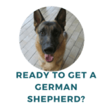 What to Know Before Getting a German Shepherd