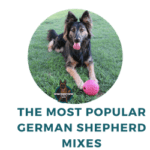 What are the Most Popular German Shepherd Mixed Breeds