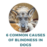 Common Causes of Blindness in Dogs