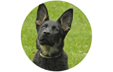 GSD Breed Information