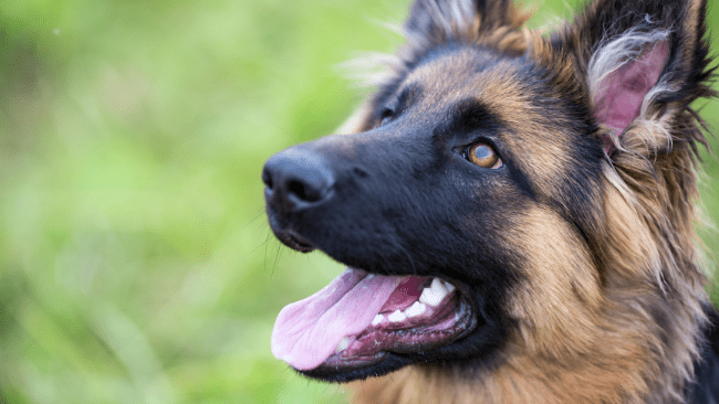 How to Reduce the Risks of Health Problems in German Shepherds
